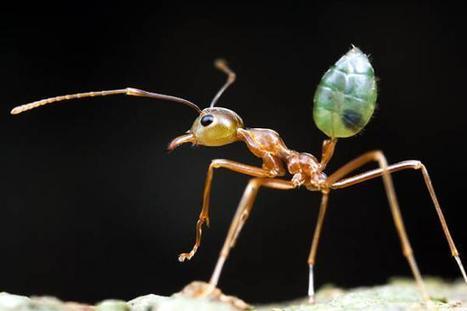 Les fourmis tisserandes aident les fleurs à avoir de meilleurs pollinisateurs   Chronique d'un pays où il ne se passe rien... ou presque !   Scoop.it