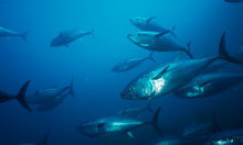 Tuna contaminated with Fukushima radiation found in California   Food for Thoughts   Scoop.it