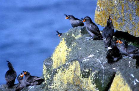 Alaska Cod Are Eating Seabirds - But How? : DNews | Planet Earth | Scoop.it