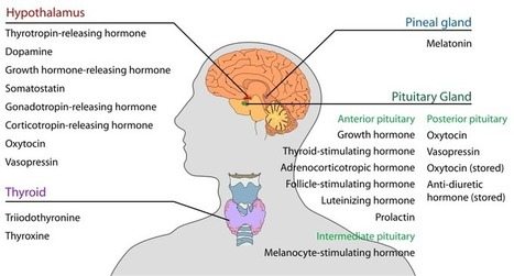 Prevent or Cure most Chronic Disease by Normalizing this Hormone. | Funteresting Stuff | Scoop.it