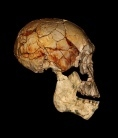Fossils point to a big family for human ancestors | Aux origines | Scoop.it