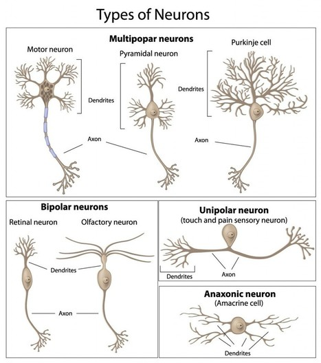 The Neuron – External Structure and Classification « Interactive Biology, by Leslie Samuel | Science Tools for School | Scoop.it