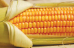 New push to prosecute GMO importers after Cabinet ban | Food issues | Scoop.it