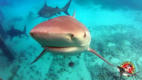 Bimini Big Game Club Shark Cage Wedding Promotion | The Best of The Bahamas | Scoop.it