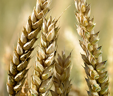 BBSRC mention: Wheat promiscuity holds key to yields, Oxford Farming Conference hears | BBSRC News Coverage | Scoop.it