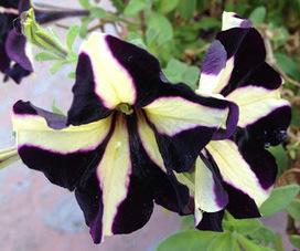 Aprille's SoCal Gardening ✿❀✾: Phantom   Annie Haven   Haven Brand   Scoop.it