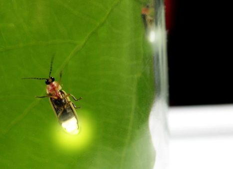 Fireflies Inspire Brighter LEDs | Biomimicry | Scoop.it