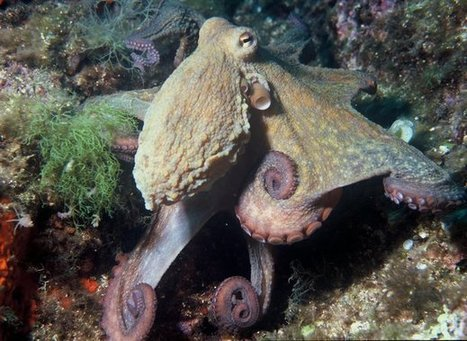 Ten Curious Facts About Octopuses | All about water, the oceans, environmental issues | Scoop.it
