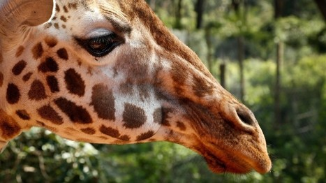 Giraffes, rarer than elephants, put on extinction watch list | Wildlife Conservation: People and Stories | Scoop.it