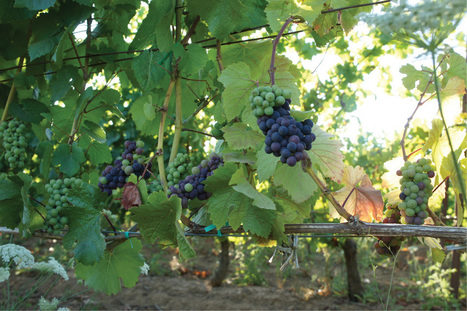 An early harvest? Not so fast my friend. | The Lenné Estate Blog | Southern California Wine  and  Craft Spirits | Scoop.it