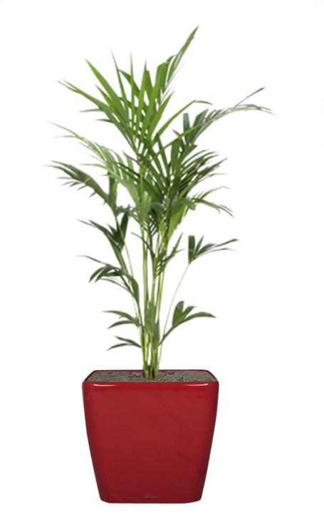 kentia une plante incontournable pour votre bureau la location de picture to pin on pinterest. Black Bedroom Furniture Sets. Home Design Ideas