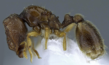 Two New Species of Door Head Ants Found in Kenya and the Ivory Coast | All About Ants | Scoop.it