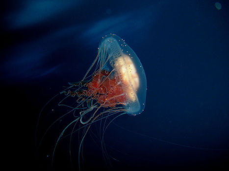 Can a jellyfish unlock the secret of immortality? | KurzweilAI | Knowmads, Infocology of the future | Scoop.it