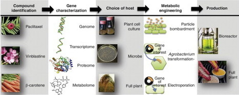Metabolic engineering approaches for production of biochemicals in food and medicinal plants | plant cell genetics | Scoop.it