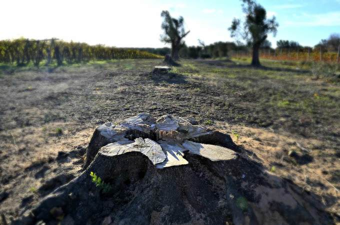 Puglia Defines Protocol for Replacing Trees Affected by Xylella