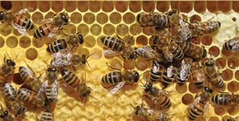 Adekar : «Mauvaise saison pour l'apiculture !» - El Watan   Abeilles, intoxications et informations   Scoop.it
