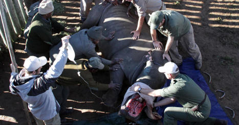South Africa rhino named Hope gets facial reconstruction after horrific poacher attack | What's Happening to Africa's Rhino? | Scoop.it