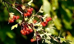 Haws light way for the worm hunters | Environment | The Guardian | Nature Flash | Scoop.it
