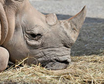 Petition: South Africa: Don't Legalize Rhino Poaching! | conservation & antipoaching | Scoop.it