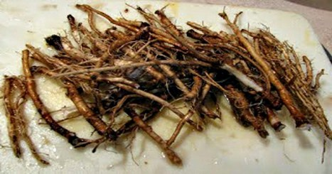 Scientists Find Root That Kills 98% Of Cancer Cells In Only 48 Hours | NetBiology | Scoop.it