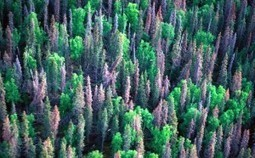 Forest Carbon Release from Pine Beetle Infestation Less Than Expected | Global Warming is Real | CALS in the News | Scoop.it