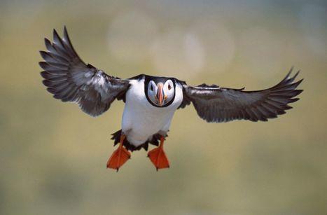 Bretagne : oiseaux des îles en perdition | Biodiversité | Scoop.it