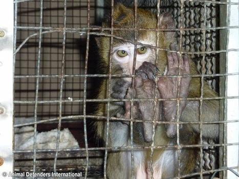 ADI Investigation: South Korean Monkey School Animal Abuse | Global Animal | Nature Animals humankind | Scoop.it
