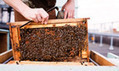 Honeybee problem nearing a 'critical point' | YOUR FOOD, YOUR ENVIRONMENT, YOUR HEALTH: #Biotech #GMOs #Pesticides #Chemicals #FactoryFarms #CAFOs #BigFood | Scoop.it