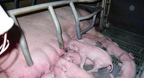 [A voir] Germes tueurs : le fléau de l'élevage intensif - Arte | CAP21 | Scoop.it
