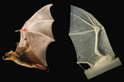 Robotic Bat Wing Mimics a 'Spectacular Flyer' | Aerospace Innovation & Technology | Scoop.it