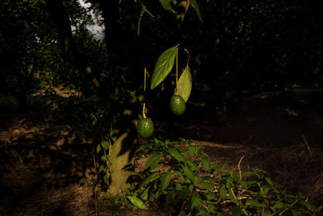 Avocados Imperil Monarch Butterflies' Winter Home in Mexico | Plant Biology Teaching Resources (Higher Education) | Scoop.it