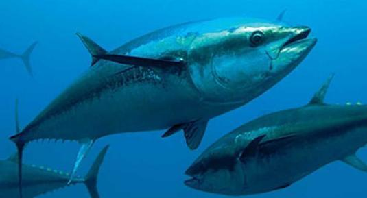 ENGO hits out against decision to increase tuna quotas - The Malta Independent