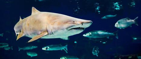 Sharks Have Complex Social Networks, Study Shows | Oceans and Wildlife | Scoop.it