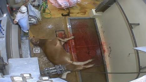 Actes de cruauté dans un abattoir du Gard certifié bio | Veille développement durable | Scoop.it