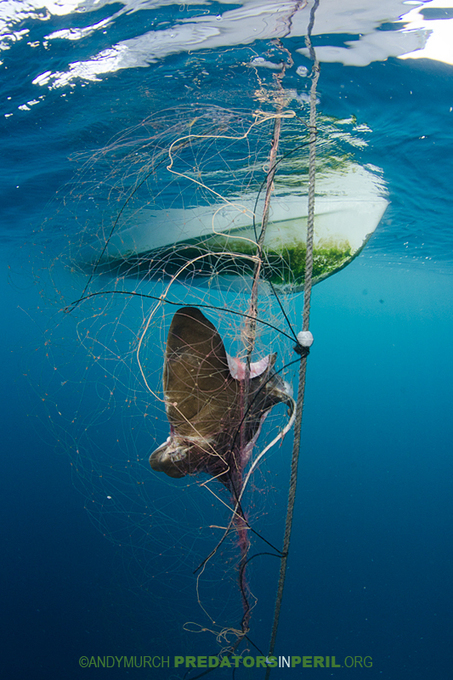 Free images of dead sharks and other marine predators in distress   Ocean News   Scoop.it