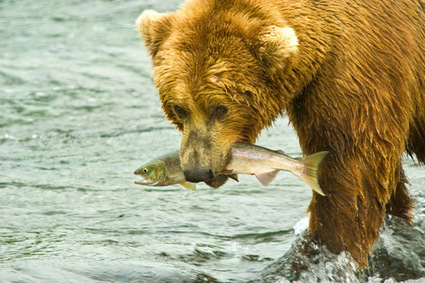 Giving Thanks to Salmon: Sustainers of the Great Bear Rainforest | Cool Green Science: The Conservation Blog of The Nature Conservancy | Sustainable Futures | Scoop.it