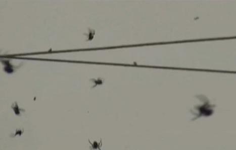 Des milliers d'araignées dans les airs ! | EntomoNews | Scoop.it