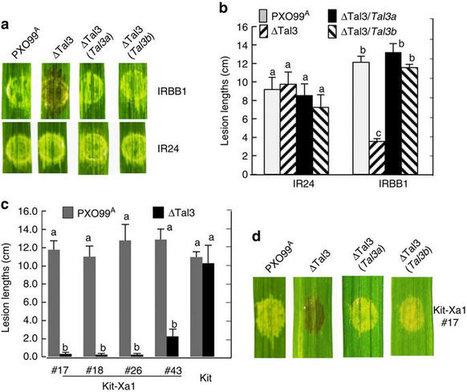 Nature Commun.: Interfering TAL effectors of Xanthomonas oryzae neutralize R-gene-mediated plant disease resistance (2016) | Effectors and Plant Immunity | Scoop.it
