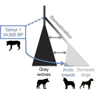 Ancient Wolf Genome Reveals an Early Divergence of Domestic Dog Ancestors and Admixture into High-Latitude Breeds | Archaeobotany and Domestication | Scoop.it