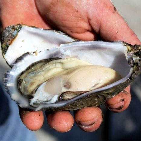 Mass oyster deaths leave industry shell-shocked | Geography Bits | Scoop.it