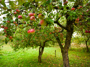 Honey, The Americans Shrank The Apple Trees   NYL - News YOU Like   Scoop.it