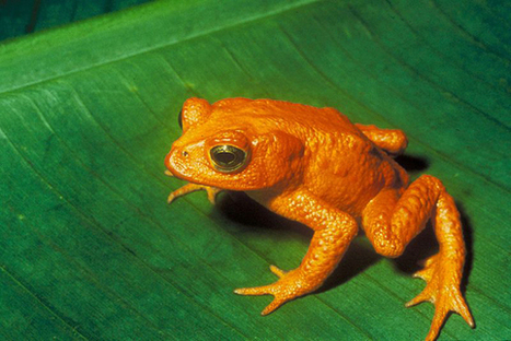New site is a match-maker for world's endangered frogs | AJC's Frogroom | Scoop.it