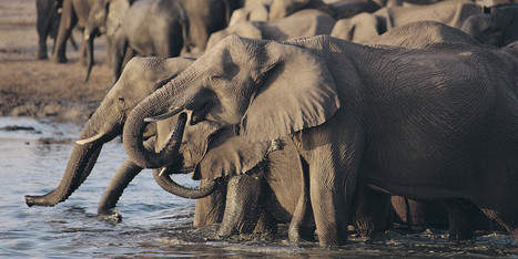 Poisoned Elephant Death Toll Rises To 81 | Environmental Sensors | Scoop.it