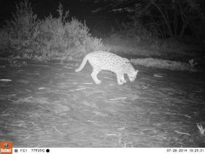 Hooked on Fishing Cat Conservation | Environment and Sustainability Portal | CALS in the News | Scoop.it