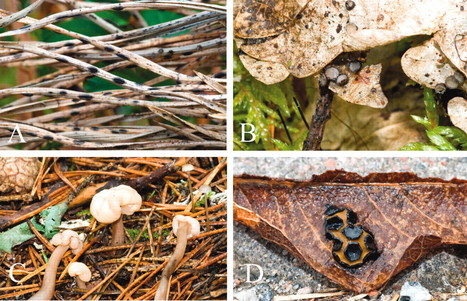 Mycologia: Molecular phylogeny reveals a core clade of Rhytismatales | fungi bacteria publications | Scoop.it