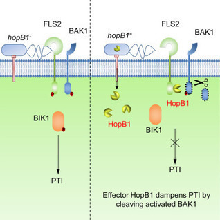 Activation-Dependent Destruction of a Co-receptor by a Pseudomonas syringae Effector Dampens Plant Immunity | Plant-microbe interaction | Scoop.it