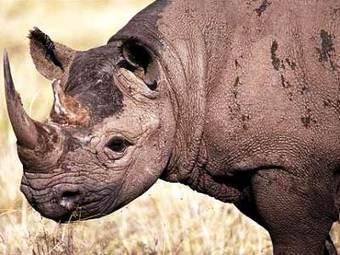 Rhino horn sensor implants prevent poaching | defenceWeb | Oceans and Wildlife | Scoop.it