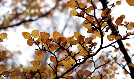 Turning of the fagus | Australian Plants on the Web | Scoop.it