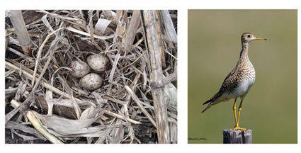 No-till soybean fields give (even some rare) birds a foothold in Illinois - Univ Illinois (2014)   Ag Biotech News   Scoop.it