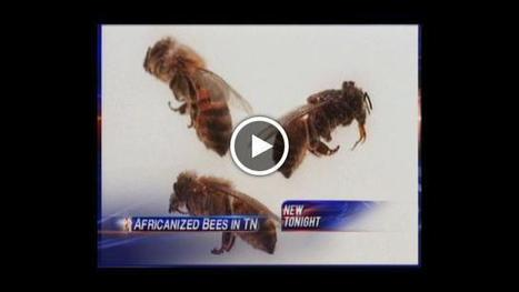 Partially Africanized bees discovered in East Tennessee | wbir.com | Bees and Honey | Scoop.it